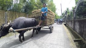 Man driving hay cart pulled by carabao water buffalo. San Pablo City, Laguna, Philippines - July 6, 2017: Man driving hay cart pulled by carabao water buffalo on stock video
