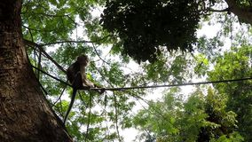 Small captive monkey chained on the tree. San Pablo City, Laguna, Philippines - October 2, 2017: small captive monkey chained on the tree stock video