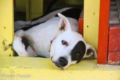 San Pedro Belize Pit Bull Stock Photography