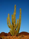 San Pedro Cactus Against Blue Sky Stock Photo