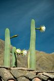 San Pedro Cactuses. Cactuses of Ollantaytambo Police station (San Pedro stock images