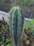 San Pedro kaktus Trichocereus Obraz Stock