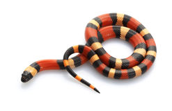 San Pueblan Milksnake Royalty Free Stock Images