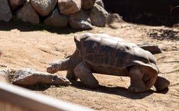 San Salvador Island tortoise known as Chelonoidis nigra darwini Stock Photo