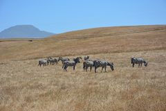 San Simeon Central Coast California Zebras royalty free stock photography