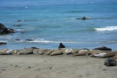 San Simeon Elephant Seals - juin Photo libre de droits
