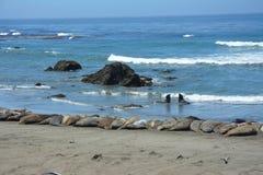 San Simeon Elephant Seals - juin Image libre de droits
