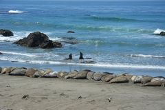 San Simeon Elephant Seals - juin Photo stock