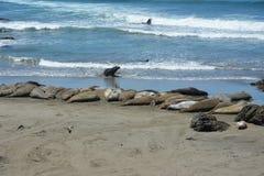 San Simeon Elephant Seals - juin Image stock