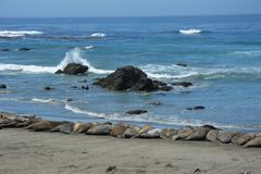 San Simeon Elephant Seals - juin Images stock