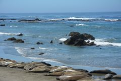 San Simeon Elephant Seals - juin Photographie stock libre de droits