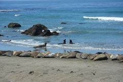 San Simeon Elephant Seals - juin Photographie stock