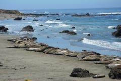 San Simeon Elephant Seals - juin Images libres de droits