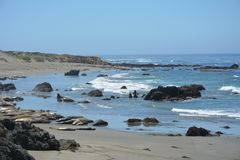 San Simeon Elephant Seals - juin Photos libres de droits