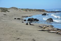 San Simeon Elephant Seals - June Royalty Free Stock Images