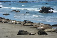 San Simeon Elephant Seals - June Royalty Free Stock Photo