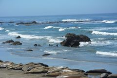 San Simeon Elephant Seals - June. Elephant seals and sea lions resting in the sun on a beautiful California beach on a summer day. Mirounga angustirostris. males Royalty Free Stock Photography