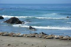San Simeon Elephant Seals - Juni Royaltyfria Foton