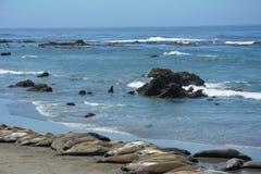 San Simeon Elephant Seals - Juni Royaltyfri Fotografi