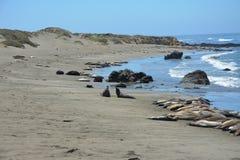 San Simeon Elephant Seals - Juni Royalty-vrije Stock Afbeeldingen