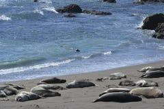 San Simeon Elephant Seals Stock Images