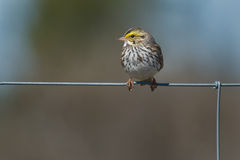 Sanannah Sparrow. Savannah Sparrow perched on a page wire fence Royalty Free Stock Photos