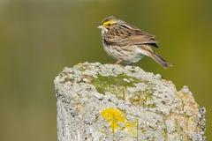 Sanannah Sparrow Stock Photos