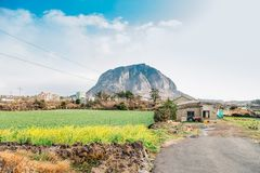 Sanbangsan Mountain and yellow flower field in Jeju Island, Korea. Sanbangsan Mountain and yellow flower in Jeju Island, Korea royalty free stock photo