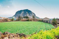 Sanbangsan Mountain and yellow flower field in Jeju Island, Korea. Sanbangsan Mountain and yellow flower in Jeju Island, Korea stock image