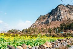 Sanbangsan Mountain and yellow flower field in Jeju Island, Korea. Sanbangsan Mountain and yellow flower in Jeju Island, Korea royalty free stock image