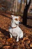 Séance terier de Jack Russel sur des feuilles Photos stock