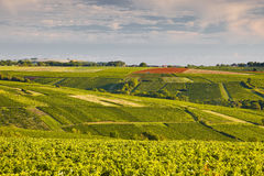 Sancerrois vines Stock Images