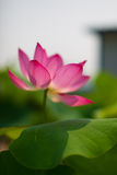 The sanctity of the lotus. Delicate and charming the sanctity of the lotus, appear more dazzling in the sun,Pink petals jiaojiao is about to drip, vivid and Stock Image