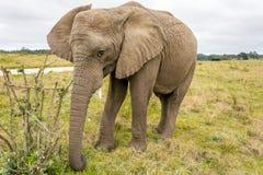 Sanctuaire d'éléphant de Knysna, Afrique du Sud Photographie stock
