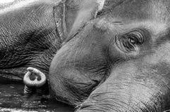 Sanctuaire d'éléphant de Kodanad - se baigner d'éléphant en cours avec l'oeil et le tronc vers le gauche - noir et blanc photo stock