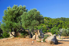 Sanctuary of Poseidon. Olive trees growing in ruins of Sanctuary of Poseidon, Poros, Greece Stock Images