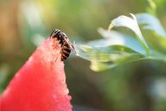 Sandía cortada fresca, primer de la abeja en rebanada fresca de sandía roja, cosecha dulce Imágenes de archivo libres de regalías