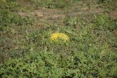 Sandía putrefacta vieja tajada Un campo abandonado de sandías y de melones Sandías putrefactas Restos de la cosecha de melones Imagen de archivo