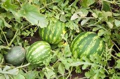 Sandía y melón Imagen de archivo libre de regalías