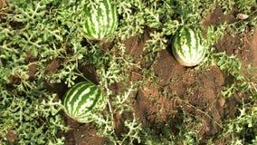 Sandías maduras en campo del melón entre las hojas verdes almacen de metraje de vídeo