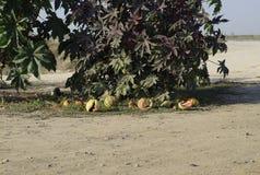 Sandías putrefactas viejas quebradas debajo de un arbusto del Ricinus Fotos de archivo libres de regalías