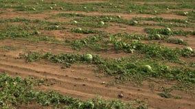 Sandías que crecen en el campo de granja metrajes