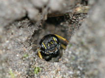 Sand angebundener Digger Wasp (Cerceris-Arenaria) lizenzfreie stockfotos