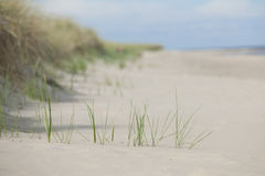 Sand beach and reed.GN. Green reed growing on sand beach.GN stock image