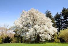 Sand-Birnen-Baum im Früjahr Lizenzfreie Stockfotos