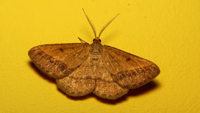 Sand bordered bloom moth - Isturgia arenacearia. A small moth, the Sand bordered bloom moth with yellow background Royalty Free Stock Images