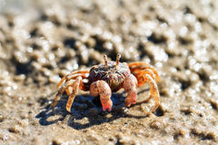 Sand bubbler crab Stock Photo