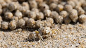Sand bubbler crab, close-up stock video footage