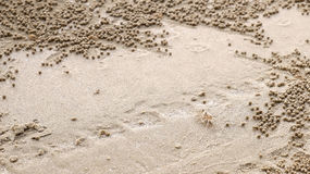 Sand bubbler crab with sand balls Royalty Free Stock Photo