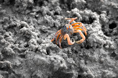 Sand bubbler crab on sand during low water Royalty Free Stock Image